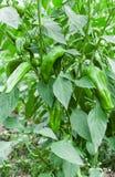 Usine de poivron vert croissant Photos libres de droits