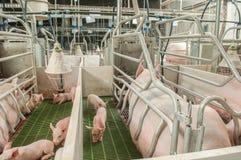 Usine de porc Photo libre de droits