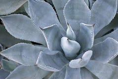 Usine de potatorum d'agave Photo stock