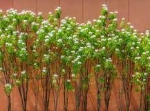 Usine de pudica de Plumeria avec le mur brun à l'arrière-plan Photo libre de droits