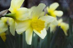 Usine de ressort de jaune de fleur de narcisse Photos libres de droits