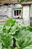 Usine de rhubarbe verte feuillue photographie stock libre de droits