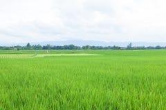 Usine de riz Photographie stock