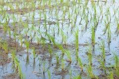 Usine de riz Photo stock