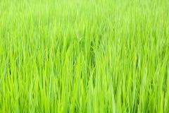 Usine de riz Image stock