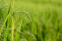 Usine de riz avec le grain Image libre de droits