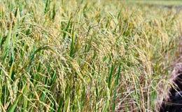 Usine de riz de vert de gisement de riz, photo de paysage Photo stock