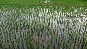 usine de riz verte dans le village Image stock