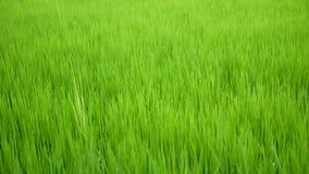 Usine de riz verte fraîche de glisseur de chariot dans la ferme de gisement de riz banque de vidéos