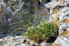 Usine de rose de cheddar (gratianopolitanus d'oeillet) sur la roche Images stock