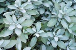 Usine de sauge, herbe aromatique Image libre de droits