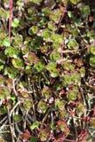 Usine de sedum au printemps Photos stock