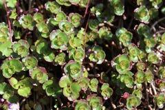 Usine de sedum au printemps Photo stock