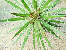 Usine de siècle de temps de marteau de ` de temps de marteau de ` de leopoldii de l'agave X Image stock