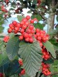 Usine de sorbe avec les baies rouges, Lithuanie Photos libres de droits