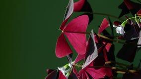Usine de Sorrel Oxalis avec les feuilles rouges et les fleurs bleues images libres de droits