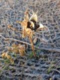 Usine de Stramonium de datura avec des cosses en automne Photographie stock