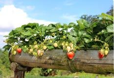 Usine de Strawberrys Image libre de droits