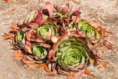 Usine de succulent de Sempervivum Image libre de droits