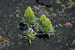 Usine de succulent de vestitum d'Aeonium Photographie stock libre de droits