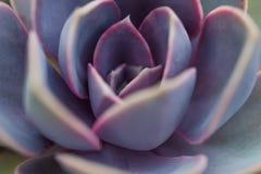 Usine de Succulent de rnberg de ¼ d'Echeveria Perle von NÃ image libre de droits