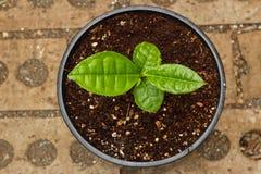 Usine de thé vert mise en pot dans le bac Images libres de droits