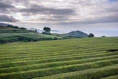 Usine de Thea aux Açores images stock