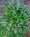 Usine de thym s'?levant dans le jardin d'herbes aromatiques images stock