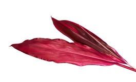 Usine de Ti ou feuilles de fruticosa de Cordyline, feuillage coloré, feuille tropicale exotique, d'isolement sur le fond blanc image libre de droits
