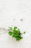 Usine de trèfle traversant un mur Image libre de droits