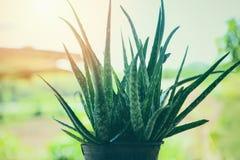 Usine de Vera d'aloès s'élevant dans le pot aux plantes vertes tropicales de jardin photographie stock libre de droits