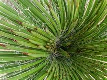 Usine de yucca à partir du dessus photos libres de droits