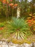 Usine de yucca photo libre de droits