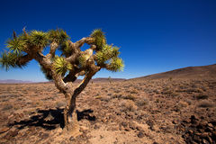 Usine de yucca d'arbre de Death Valley Joshua Photo libre de droits