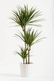 Usine de yucca mise en pot dans un récipient Images stock