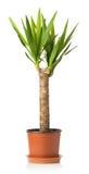 Usine de yucca sur un fond blanc Images stock