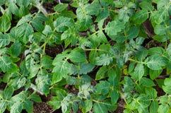 Usine des tomates, organique naturel dans le potager Photographie stock