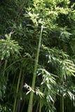 Usine en bambou Photographie stock libre de droits