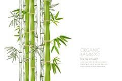 Usine en bambou de vecteur d'isolement Illustration réaliste et de croquis Concevez pour la station thermale asiatique et le mass illustration stock