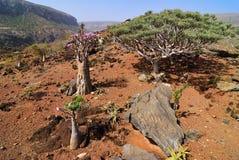 Usine endémique, Yémen, île de Socotra Photographie stock