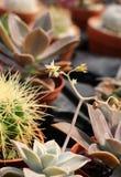 Usine et catcus succulents fleurissants Photos libres de droits