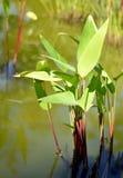 Usine exotique tropicale de heliconia Photographie stock