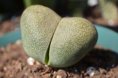 Usine fendue de Succulent de roche de Nelii de Pleiospilos Photos libres de droits