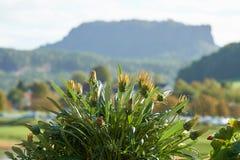 Usine fleurissante avec le Lilienstein à l'arrière-plan photo stock