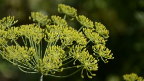 Usine fleurissante d'herbes d'aneth dans les graveolens d'Anethum de jardin Fermez-vous des fleurs de fenouil Soufflement de vent banque de vidéos