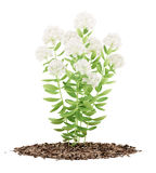 Usine fleurissante de sedum d'isolement sur le blanc Image stock