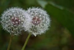 Usine fleurissante sauvage de pissenlits Image stock