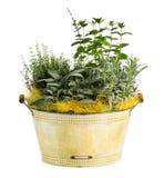 Usine fraîche d'herbes et d'épices de regard sur le pot de bassine Photographie stock