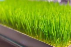 Usine fra?che de Wheatgrass organique pour le jus de compression, Wheatgrass du cru nutritif, pousses vertes de bl? pour le jus photo libre de droits