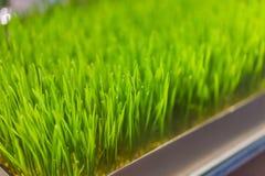 Usine fra?che de Wheatgrass organique pour le jus de compression, Wheatgrass du cru nutritif, pousses vertes de bl? pour le jus photos libres de droits